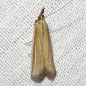 Peoria tetradella, White-streaked Grass Veneer, Hodges #6044 ? - Peoria