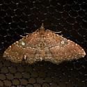 The Gem - Hodges #7414 - Orthonama obstipata - female