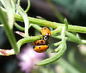 Variegated Lady Beetle - Hippodamia variegata - male - female