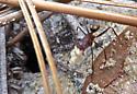 Carpenter Ant - Camponotus socius