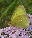 Common Name?  - Colias philodice - male