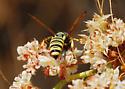 OC Hymenoptera #24 - Eucerceris provancheri