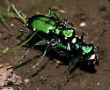 Six-spotted Tiger Beetle - Cicindela sexguttata - male - female