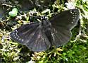 ubutterfly9640 - Pholisora catullus