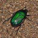 Coleoptera-Euphoria fulgida? - Euphoria monticola