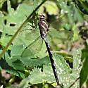 unidentdragonfly 640 - Aeshna constricta