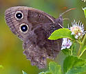 Summer Butterfly - Cercyonis pegala - female