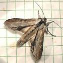 595 Cucullia montanae 10201 - Cucullia montanae