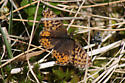 Butterfly on tundra, northern Quebec - Boloria freija - female