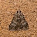 Chisos Mountains Moth TBD 2 - Melipotis jucunda