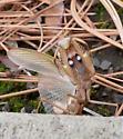 European Mantis threat display - Mantis religiosa - female