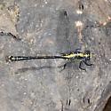 Grappletail - Octogomphus specularis