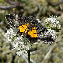 Noctuidae: Annaphila decia - Annaphila decia