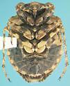 Gelastocorid - Gelastocoris oculatus