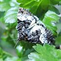 White Underwing Moth - Annaphila diva