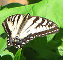 swallowtail - Papilio canadensis - female