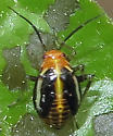 Four-lined Plant Bug nymph? - Poecilocapsus lineatus