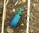 Blue-Green Beetle - Cicindelidia punctulata