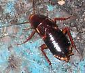 Turkestan Cockroach - Shelfordella lateralis - female