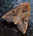 Russet Moth - Loscopia velata