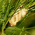 Owlet moth - Chloridea