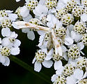 white and tan moth - Gillmeria pallidactyla
