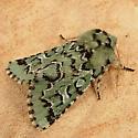 1162 Feralia deceptiva - Deceptive Sallow Moth 10006 - Feralia deceptiva - male