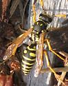 Unkown Wasp - Polistes dominula