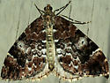 Geometrid moth - Dysstroma citrata