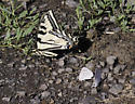 Black and yellow swallowtail - Papilio rutulus - male