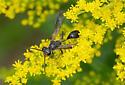 Wasp, ID needed. - Isodontia