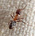 Liometopum (velvety tree ants)?