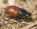 Moose Dung Beetle in New Brunswick - Aphodius fimetarius
