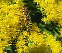 A locust borer? - Megacyllene robiniae