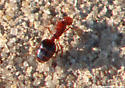 Red-Black Ant - Solenopsis invicta
