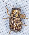 Beetle, dorsal - Pachybrachis