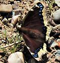Butterfly - Nymphalis antiopa