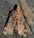 Red-shawled Moth - Hypsopygia intermedialis