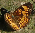 silvery checkerspot or one of the cresents? - Chlosyne nycteis