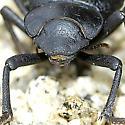 Schizillus laticeps--Tenebrionidae - Schizillus laticeps