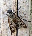 Fly - Rhagio mystaceus - male