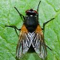 Fly - Mesembrina latreillii