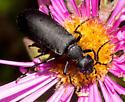 Black blister beetle - Epicauta