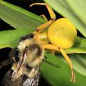 crab spider - Misumenoides formosipes - female