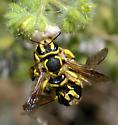 Anthidium illustre - male - female