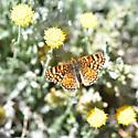 Butterfly? - Phyciodes pallida