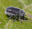 beetle - Coleothorpa dominicana - female