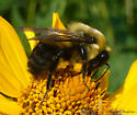 bumblebee - Bombus griseocollis