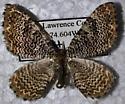 mesmerizing stripes - Rheumaptera