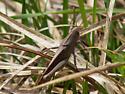 Yellow-striped gray grasshopper - Schistocerca damnifica